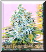 C99 female marijuana pick n mix seeds for sale online